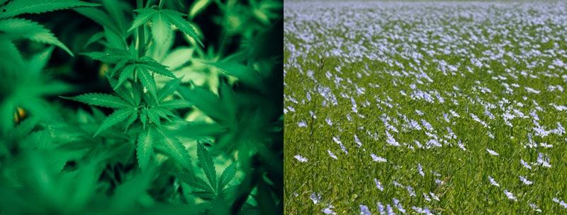 Hemp & Flax Plants